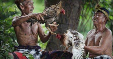 """Lontar Tajen """"sabung ayam"""" di Bali dan carcan siap (nama ayam aduan)"""